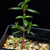 Manuka, Broom Tea-tree two month seedling image.