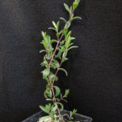 Heath Tea-tree six months seedling image.