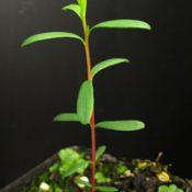 River Tea-Tree four months seedling image.