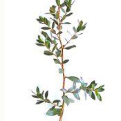 Shiny Tea-tree six months seedling image.