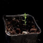 Native flax two month seedling image.