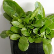Angled Lobelia two month seedling image.