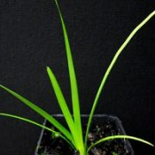 Spiny mat rush two month seedling image.