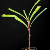 Long-leaf Lomatia four months seedling image.