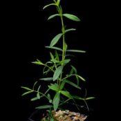 Swamp Paperbark, Swamp Tea-tree four months seedling image.