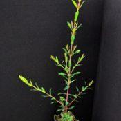 Swamp Paperbark, Swamp Tea-tree six months seedling image.