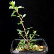 Moonah, Black Paperbark, Dryland Tea-tree four months seedling image.