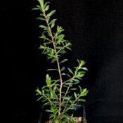 Moonah, Black Paperbark, Dryland Tea-tree six months seedling image.
