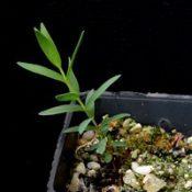 Violet Honey-myrtle two month seedling image.