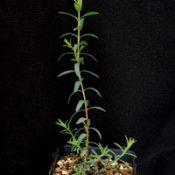 Violet Honey-myrtle four months seedling image.