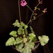 Magenta Stork's-bill six months seedling image.