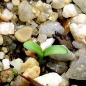 Handsome Flat-pea germination seedling image.