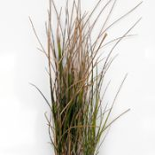 Sword Tussock-grass, Purple-sheath Tussock-grass six months seedling image.