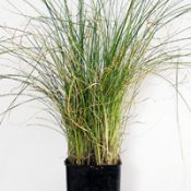 Tussock Grass four months seedling image.