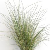 Tussock Grass six months seedling image.