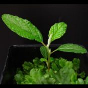 Native Hazel, Hazel Pomaderris two month seedling image.