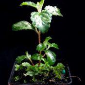 Slender Pomaderris, Cluster Pomaderris four months seedling image.