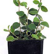 Highland Bush-pea four months seedling image.
