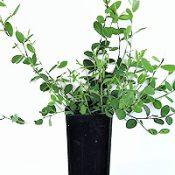 Highland Bush-pea six months seedling image.