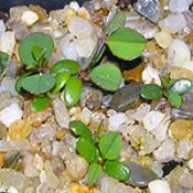 Highland Bush-pea germination seedling image.