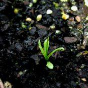 Drumsticks germination seedling image.