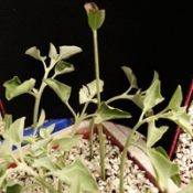 Seaberry Saltbush two month seedling image.