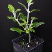 Seaberry Saltbush four months seedling image.