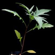 Large Kangaroo Apple four months seedling image.