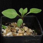 Kangaroo Apple two month seedling image.