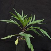 Kangaroo Apple six months seedling image.