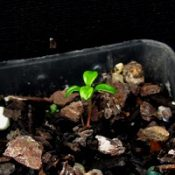 Dusty Miller germination seedling image.