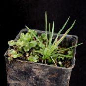 Grass Trigger Plant four months seedling image.