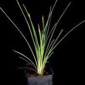 Grass Trigger Plant six months seedling image.