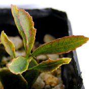 Gippsland Waratah two month seedling image.