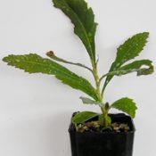 Gippsland Waratah six months seedling image.