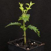 Forest Germander four months seedling image.