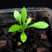 Tufted Bluebell germination seedling image.