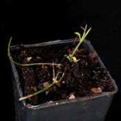 Bronze Bluebell two month seedling image.