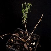 Bronze Bluebell four months seedling image.
