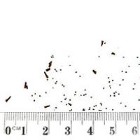 Seedling-Wahlenbergia-stricta-seed-6.jpg